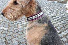 Airdale-Terrier-Lissy-Borte-Terrier-Schnauzer