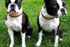 Boston-Terrier-Webband-Crazy-Cubes