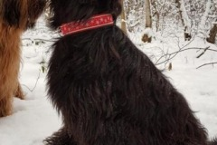 Briard-FriedaWebband-Schneeflocke-rot