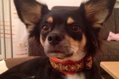 Chihuahua-Bella-Webband-Azthek