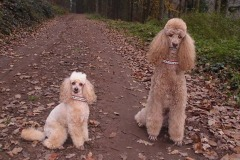 Gross-und-Kleinpudel-Webband-Poodle-love