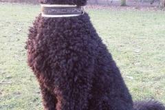 Grosspudel-Baxter-Webband-Prince-of-Dogpark
