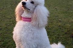 Grosspudel-Lara-Borte-Princess-of-Dogpark