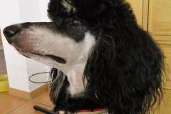Grosspudel-Naomi-Borte-I-Love-my-Poodle