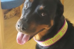 Rottweiler-Mia-besticktes-Halsband