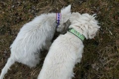 Westies-Abby-und-Justy-Terrierborte